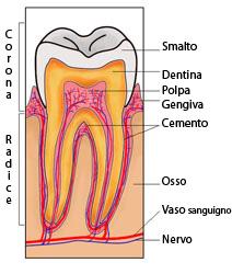 Sezione Dentale